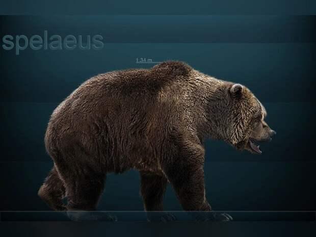 Пещерные медведи оказались строгими вегетарианцами