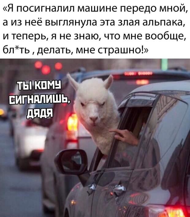 Злобная альпака за рулем