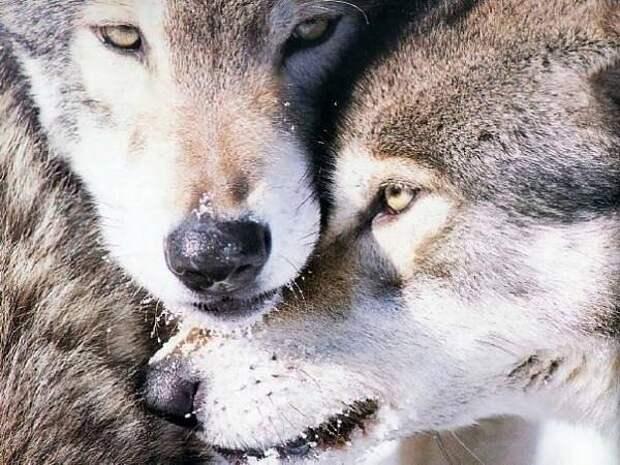 Удивительная и уникальная моногамность волков