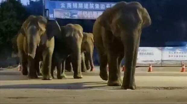 Стадо слонов сбежало из китайского заповедника. Ущерб уже больше миллиона долларов. Видео