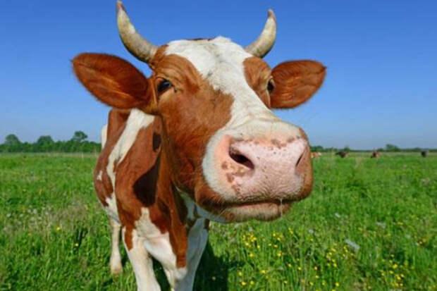 Корова чистая энергия