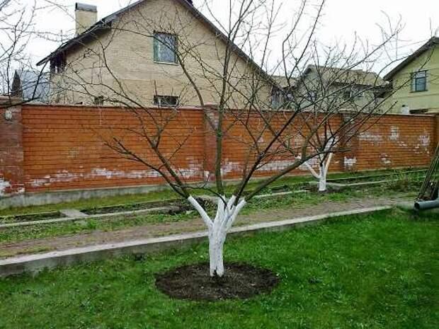 Теория и практика обрезки плодовых деревьев.
