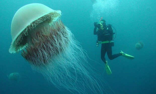 У побережья Англии под водой дайверы увидели медузу, размером больше человека