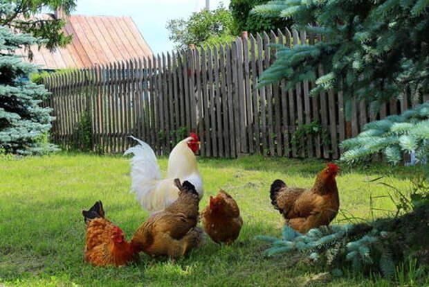 Птицу и свиней запретили держать на садовых участках