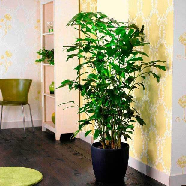 Комнатное растение Кариота (Caryota)