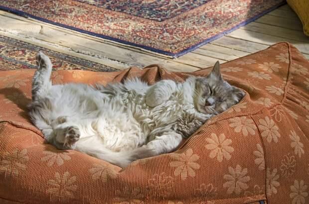 Спящий Кот, Не Беспокойтесь, Кошка Спит На Спине