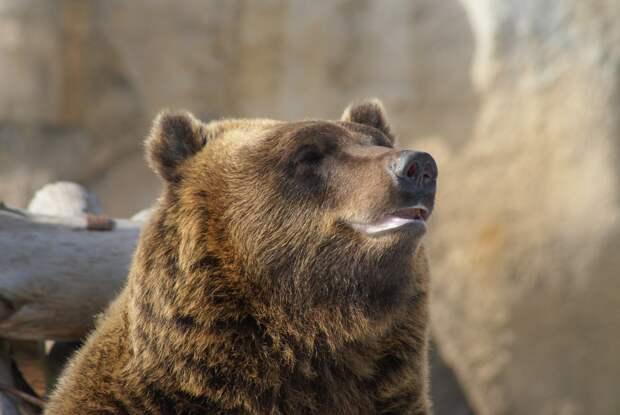 Бурые медведи в зоопарке Удмуртии готовятся к спячке