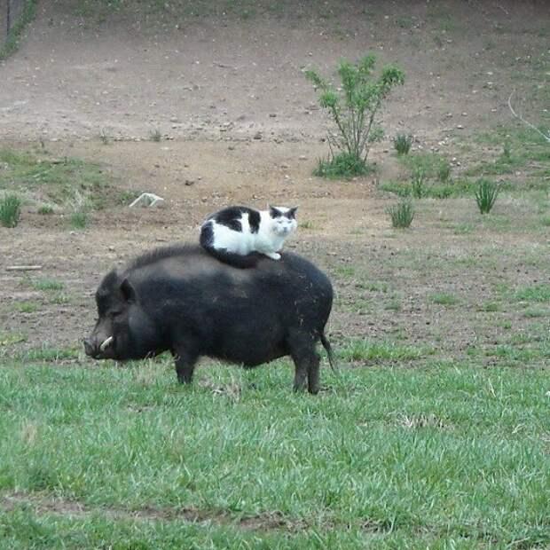 Все мы братцы - свиньи животные, наездники, смешные, фото, хитрые