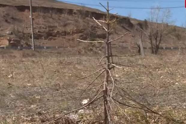 Высаженные два года назад при участии Осипова саженцы на Титовской сопке в Чите засохли