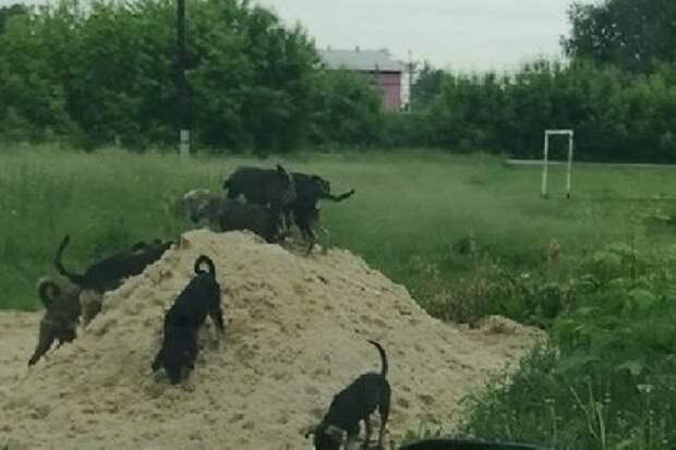 Тамбовчане продолжают жаловаться на стаи бродячих собак