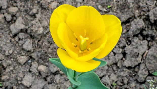 В музее‑усадьбе «Остафьево» распустились тюльпаны, высаженные воспитанниками детдома