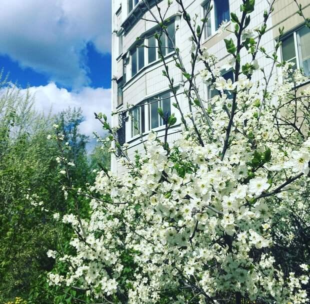 Фото дня: в Марьиной роще расцвела яблоня