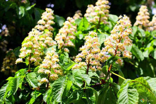 Из цветков каштана варенье, необычное, овощи. сахар. сладости, рецепт, фрукты, экзотика