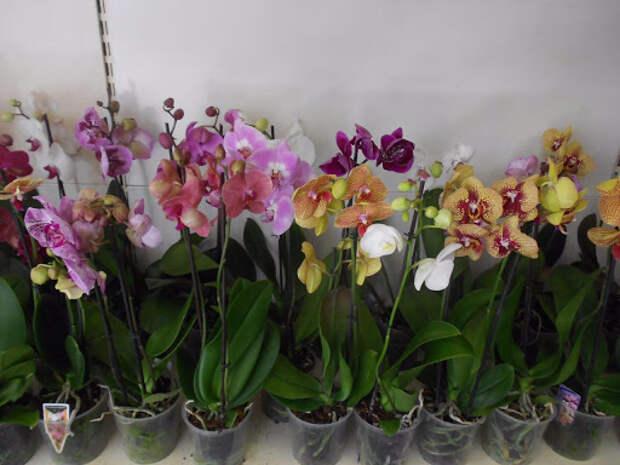 Орхидеи в магазине. / Фото: xcom-hobby.ru