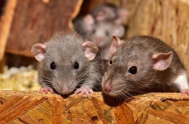 Дома британцев оккупировали крысы