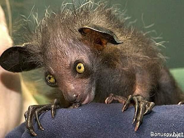 Ай-ай. животные, интересное, мадагаскар, факты, эндемики мадагаскара