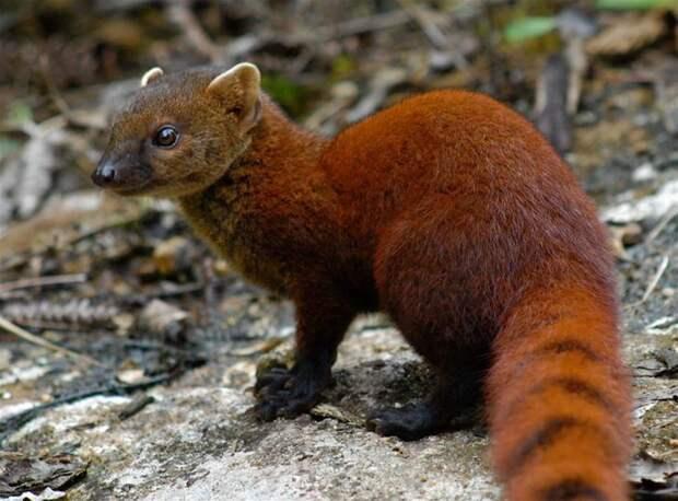 Мадагаскарский полосатый мангуст. животные, интересное, мадагаскар, факты, эндемики мадагаскара
