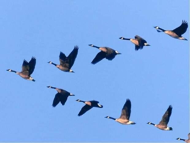 Почему гуси летят клином