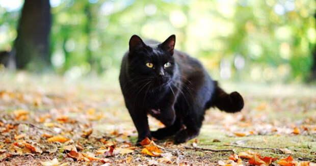 Что это значит, когда чёрная кошка следует за вами?
