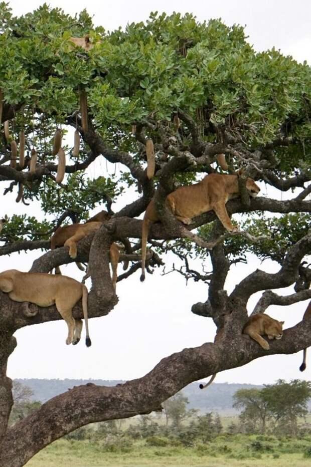 Десять львиц решили подремать на ветвистом дереве