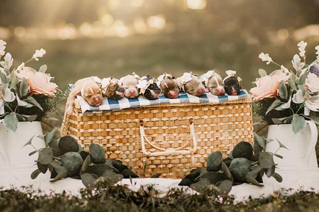 Самка питбуля сделала фотосет для беременных – и вся светится от счастья