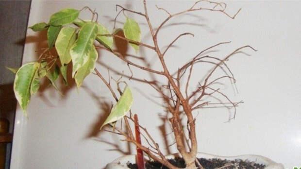 Очень капризное растение. / Фото: megaogorod.com