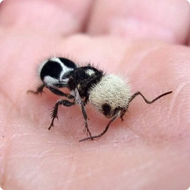 Муравей панда или Бескрылая оса Euspinolia militaris