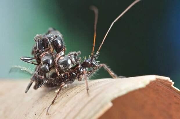 Клопы охотятся на муравьёв в их же собственном доме!