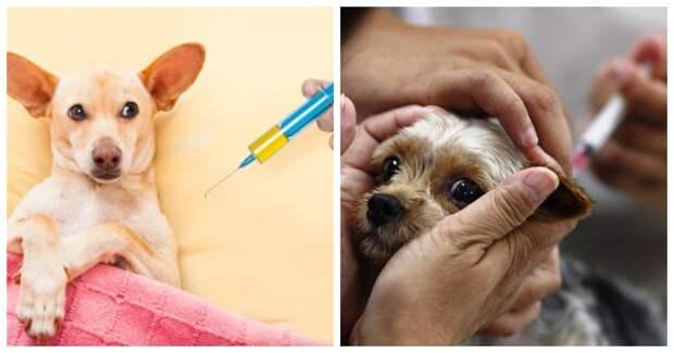 Как делать укол собаке внутримышечно – все тонкости проведения процедуры