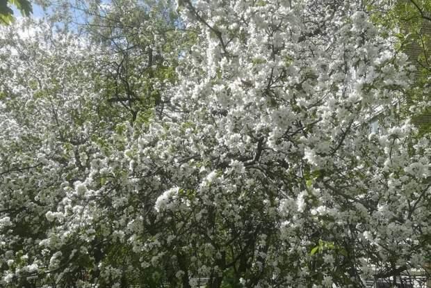 Фотограф-любитель из Алтуфьева запечатлел цветущие сирень и яблоню
