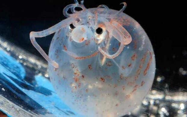 Краб-йети и кальмар-поросенок: 10 странных морских существ, которые похожи на инопланетян
