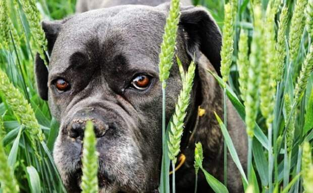 Чёрный пёс в траве
