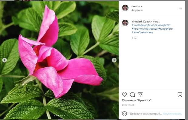 Фото дня: кадры цветения шиповника в Алтуфьеве