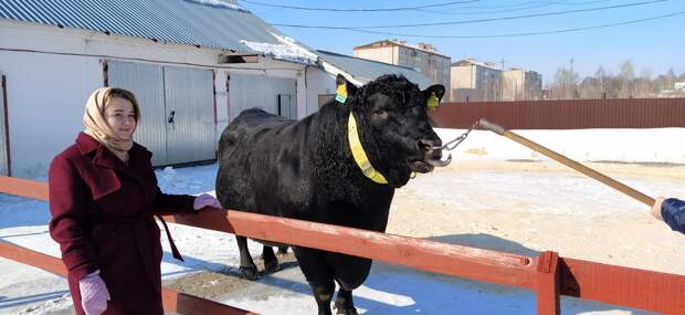 Первую партию генетического материала быков из Удмуртии отправили на экспорт