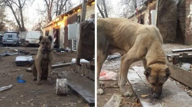 Собака породы алабай по кличке Зара в течение нескольких недель боролась за свою жизнь