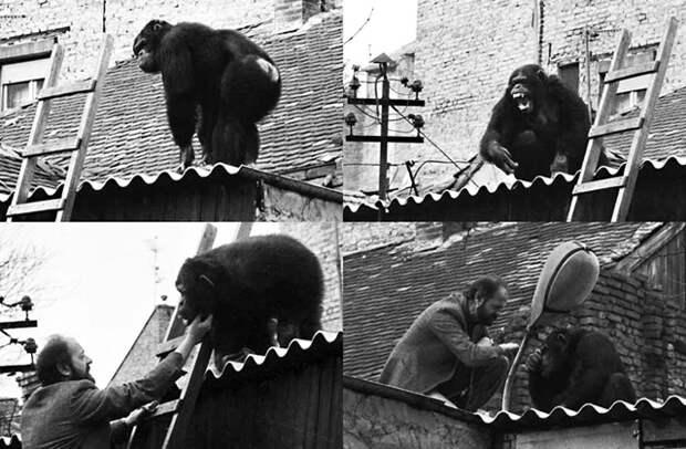 Директор зоопарка уговорил сбежавшего шимпанзе вернуться в клетку