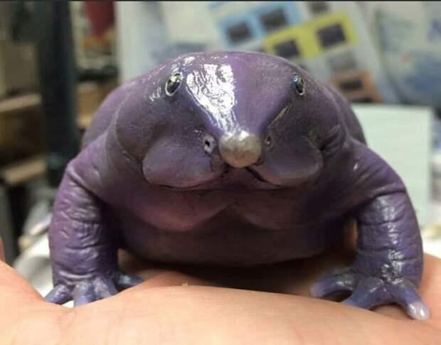 Nasikabatrachus bhupathi- пурпурная носатая лягушка, редкий и недавно открытый вид животные, интересное, мир, носатые, природа, фауна