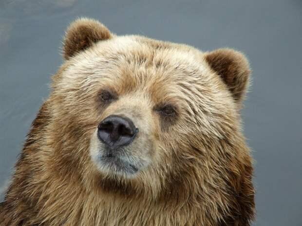 Если бы не таксист: на прохожего в Ярославле напал медведь
