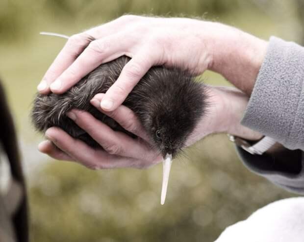 Птица киви и очень большие яйца Киви, Животные, Птицы, Дикие животные, Природа, Юмор, Книга животных, Длиннопост