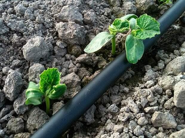 ростки в открытом грунте