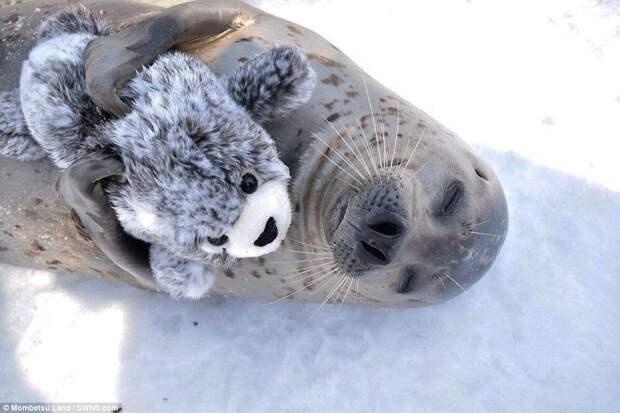 Тюлень из японского зоопарка, который полюбил плюшевого тюленёнка, как родного