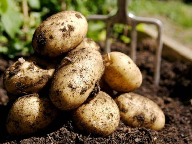 Самые урожайные сорта картофеля. Айдахо, Розара, Беллароза, Гала, Удача