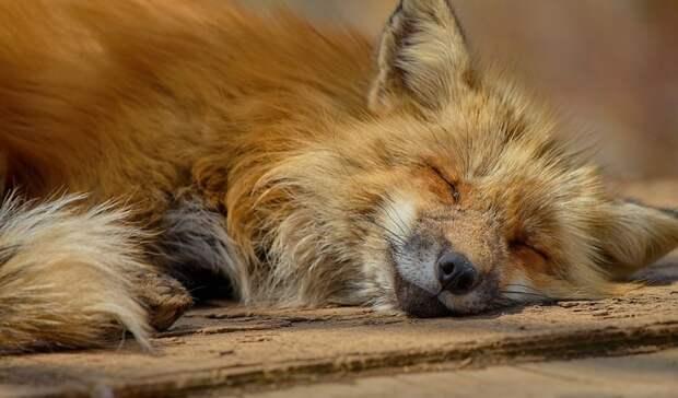 Карантин ввели в Ростовской области из-за бешеной лисы