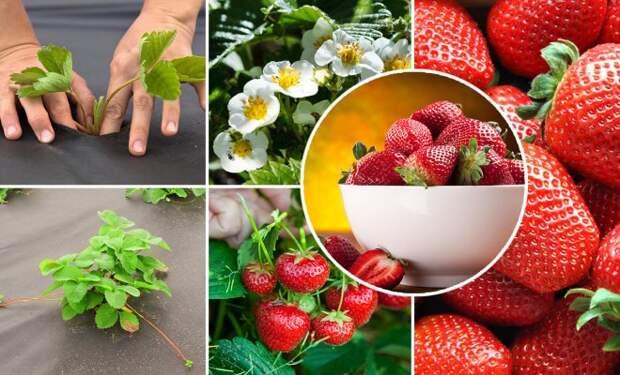 Вот как ускорить плодоношение клубники: выращивание на высоких грядках по финской технологии