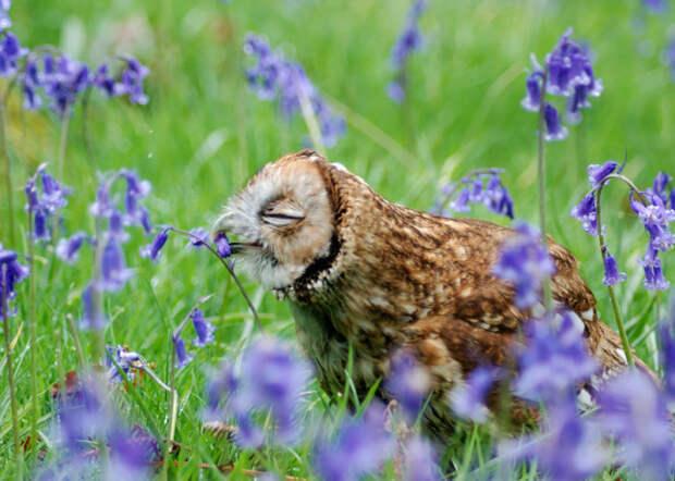 Сова наслаждается ароматом на васильковом поле.