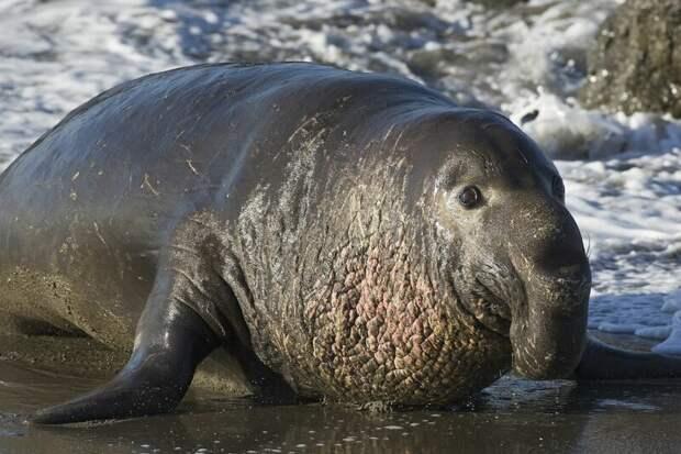 Морские слоны (лат. Mirounga) — род млекопитающих семейства настоящих тюленей животные, интересное, мир, носатые, природа, фауна