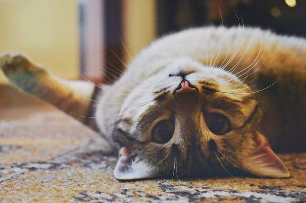Кошачий язык жестов: как понять настроение кошки