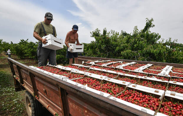 Палитра вкусов и красок: в Крыму показали черешневые сады