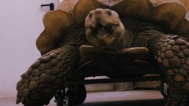 Гигантская черепаха в зоопарке Германии отметила день рождения на скейте