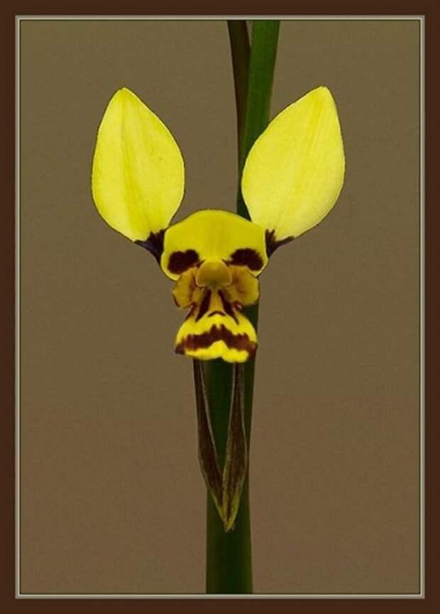 Диурис — род травянистых растений семейства Орхидные интересное, красота, орхидеи, флора, цветы